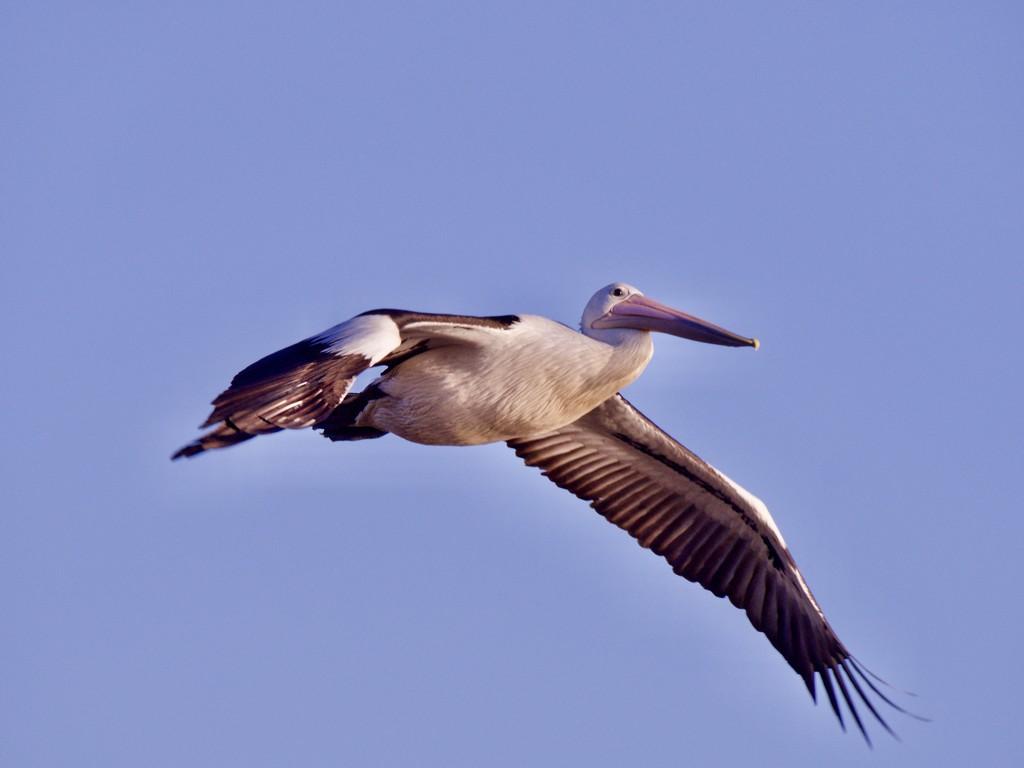 Pelican Fly By_6160098 by merrelyn