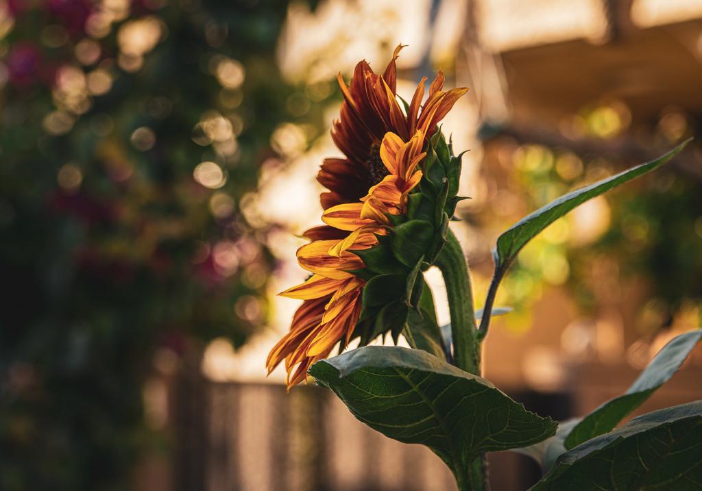 Side Sunflower by cjphoto
