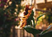 16th Jun 2021 - Side Sunflower