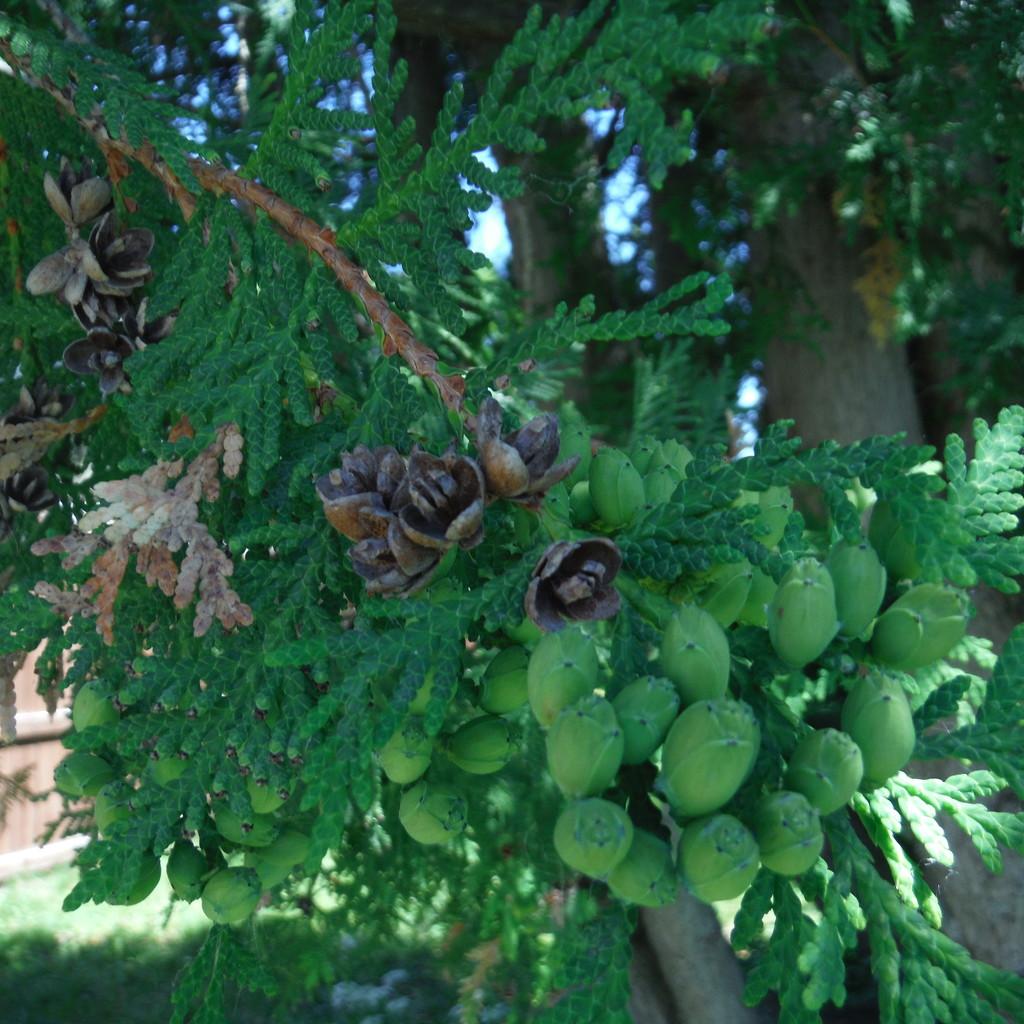 Cedar Close Up by spanishliz