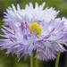 Bellis Flower