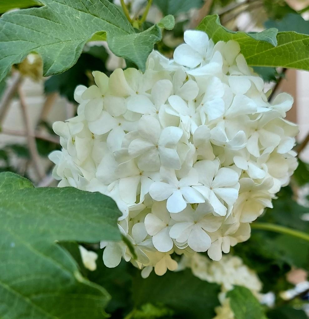 Snowball Bush by harbie