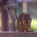 Our Littlest Squirrel Visitor by bjywamer