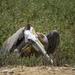 Brown Pelican Hunkered Down