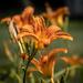 Railroad lilies by randystreat