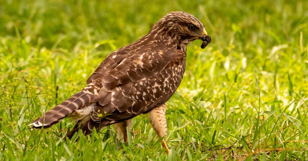 Noisy Hawk! by rickster549
