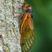 Brood X cicada close-up
