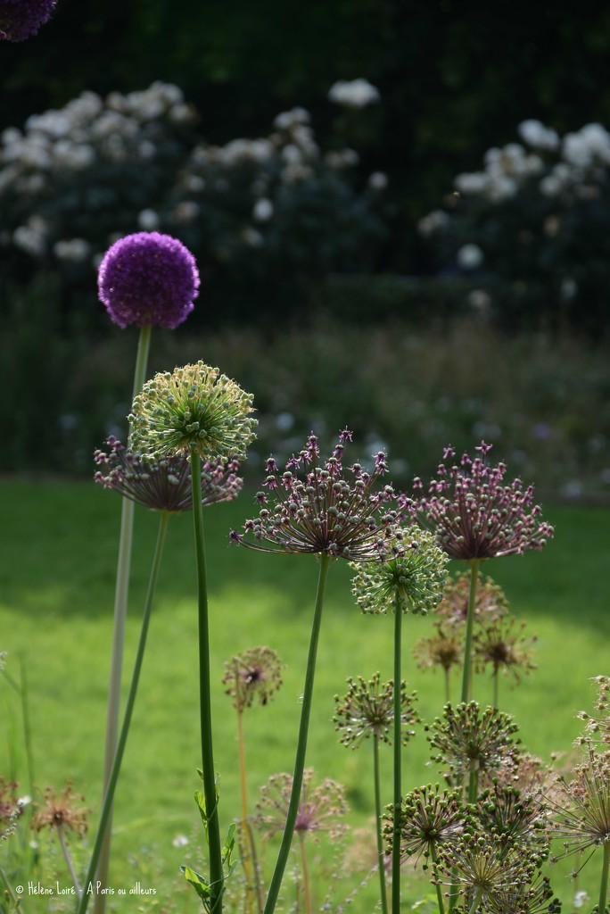 Allium by parisouailleurs