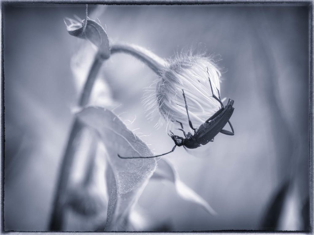 The longhorn beetle by haskar