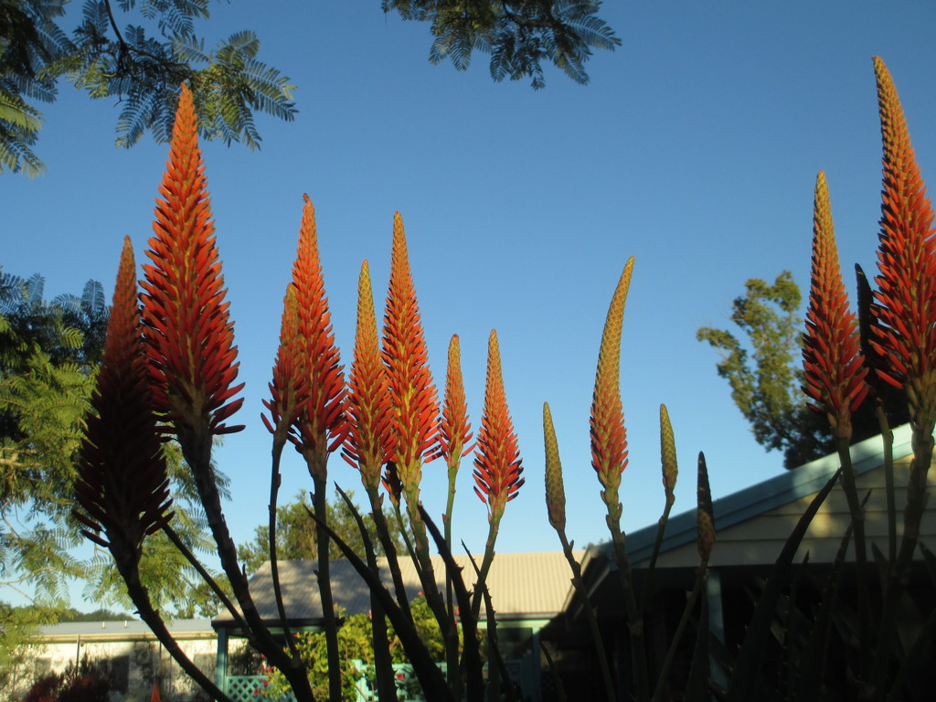 My African Aloes are now blooming by 777margo