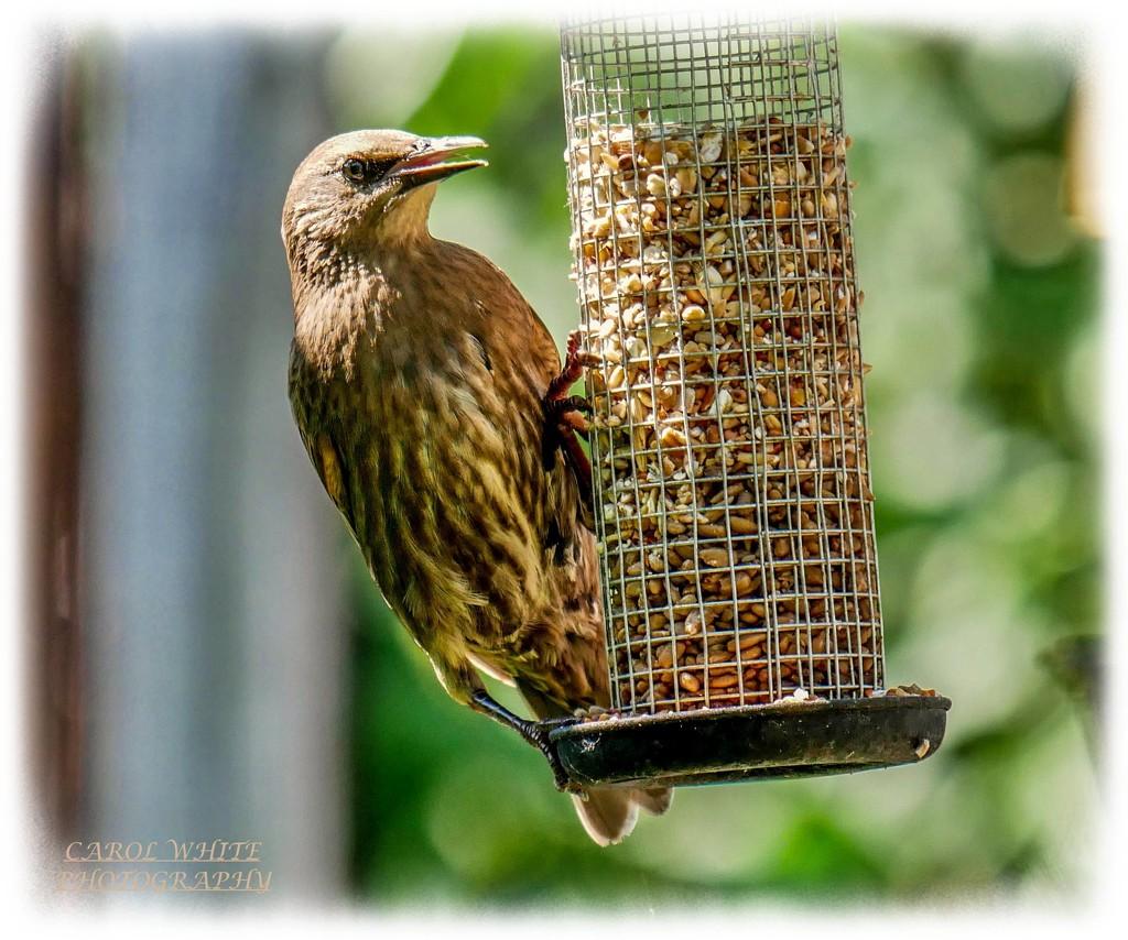 Young Starling by carolmw