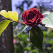 Rose by silkestahl