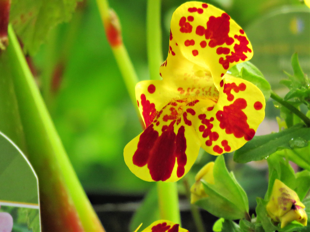 Monkey Flower Mimulus by seattlite