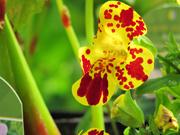 17th Jun 2021 - Monkey Flower Mimulus