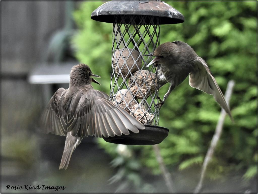 Noisy starlings by rosiekind