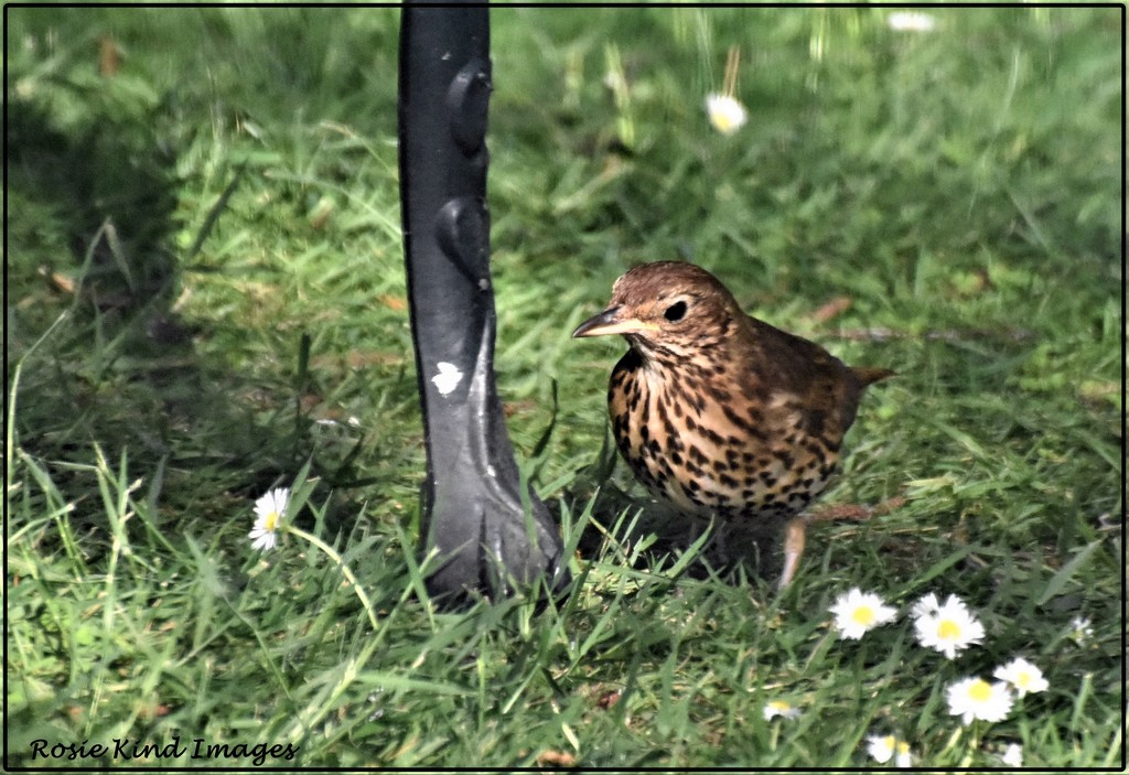 This is one of two thrushes that were in the garden by rosiekind