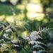 Astilbe's Blooming