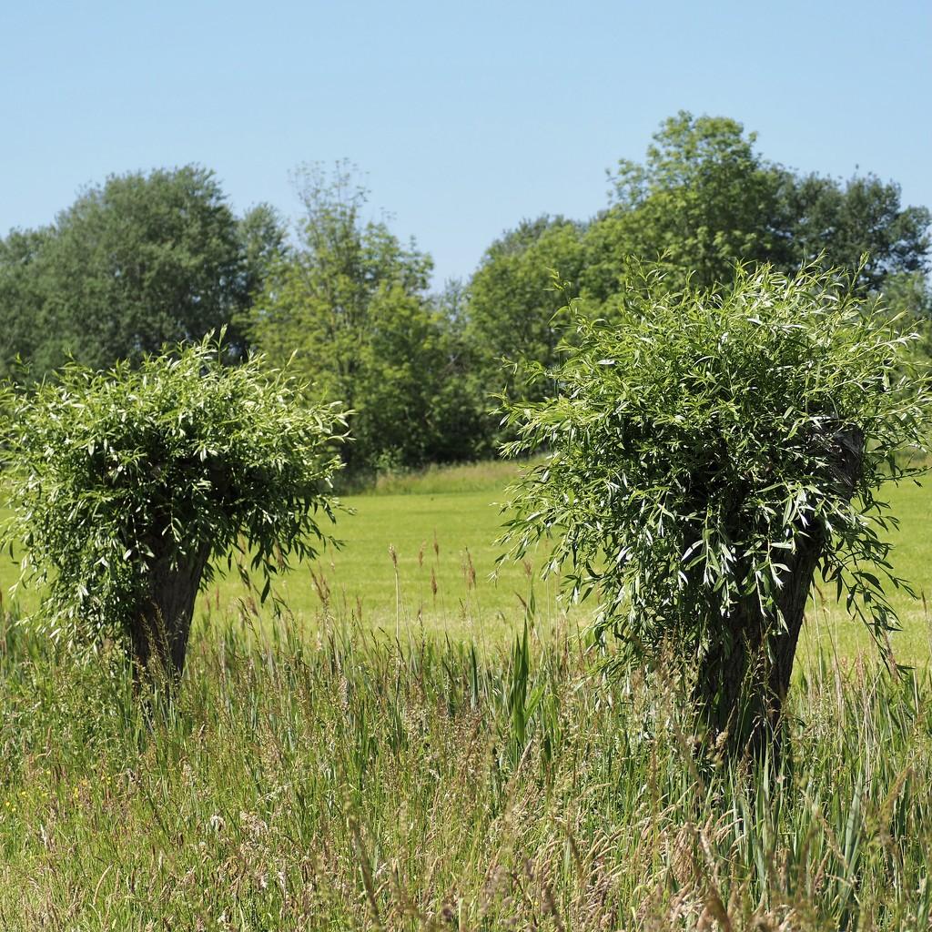 Pollard willows by jacqbb