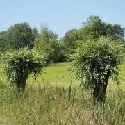 17th Jun 2021 - Pollard willows