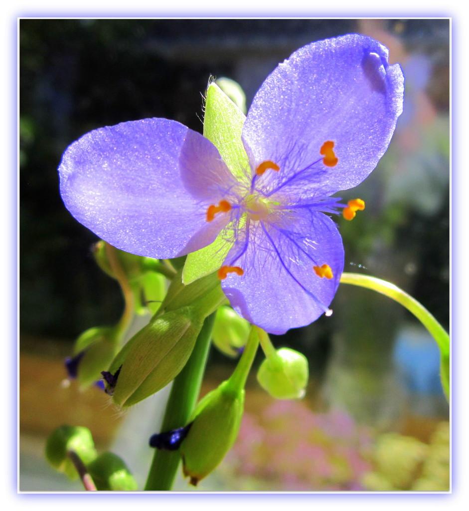 Spiderwort by bruni