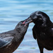 Corvid feeding time