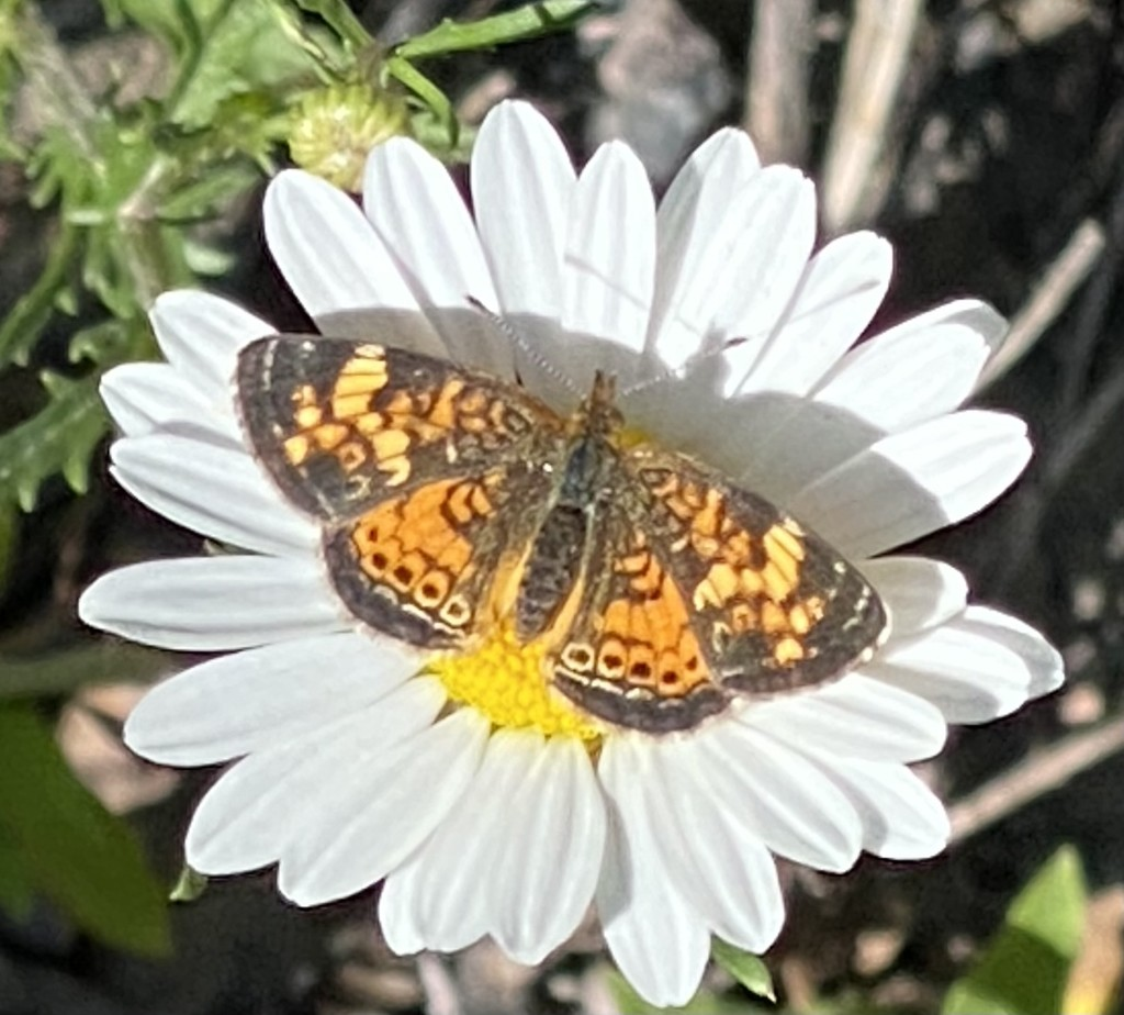 Pearl Crescent Butterfly   by radiogirl