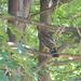 Hawk in Backyard
