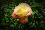 17th Jun 2021 - A rose is a rose