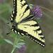 Eastern Tiger Swallowtail by fayefaye