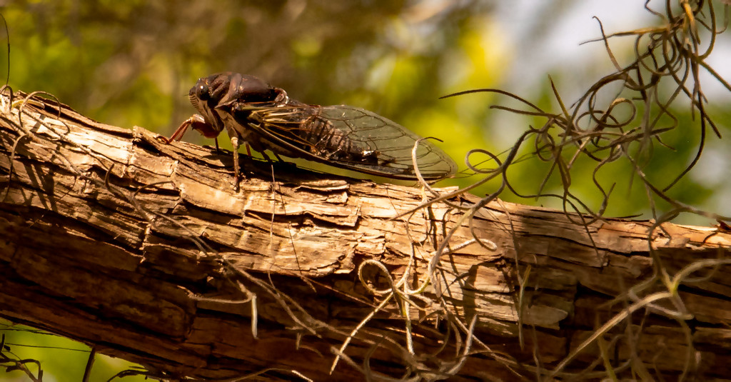 Finally Found One of the Noisy Cicada's! by rickster549