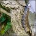 Death's Hawkmoth carepillar