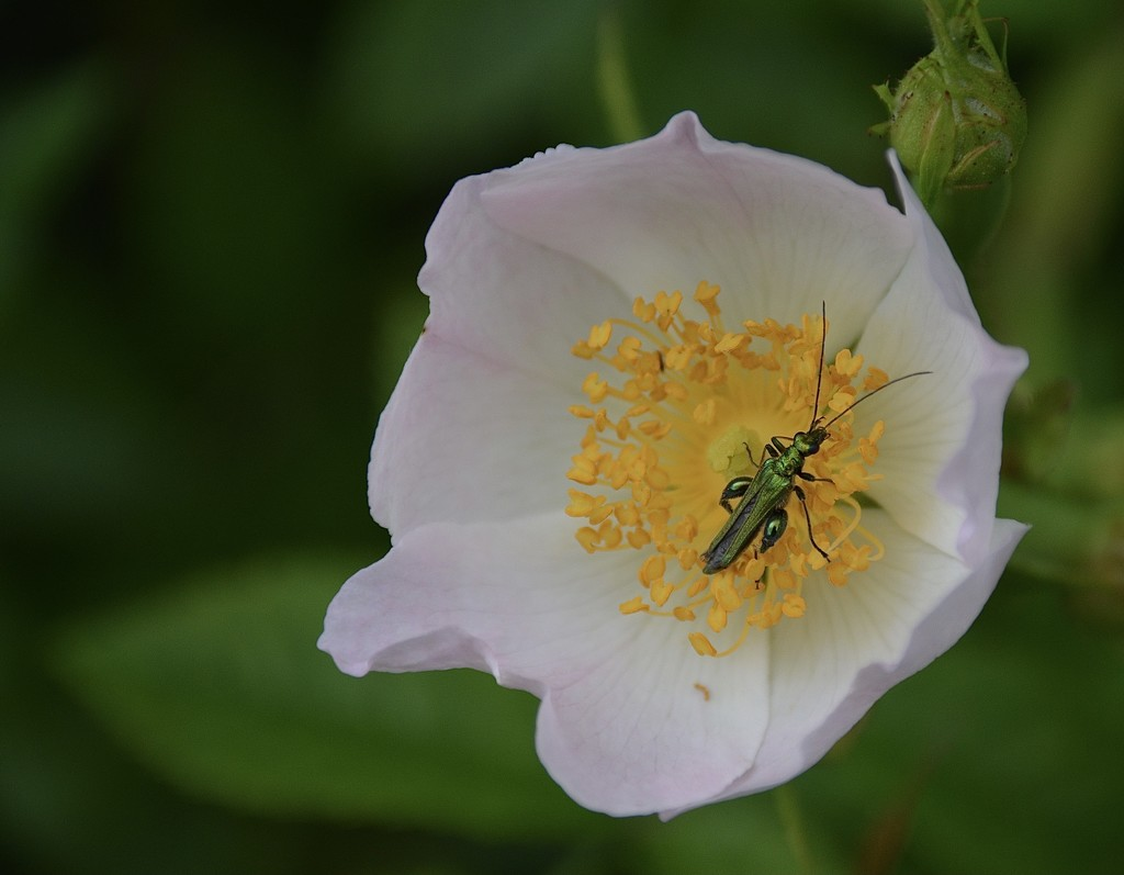 Dog rose and friend by wakelys