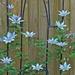 Perky Clematis by gardencat