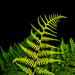 graceful fern by jernst1779