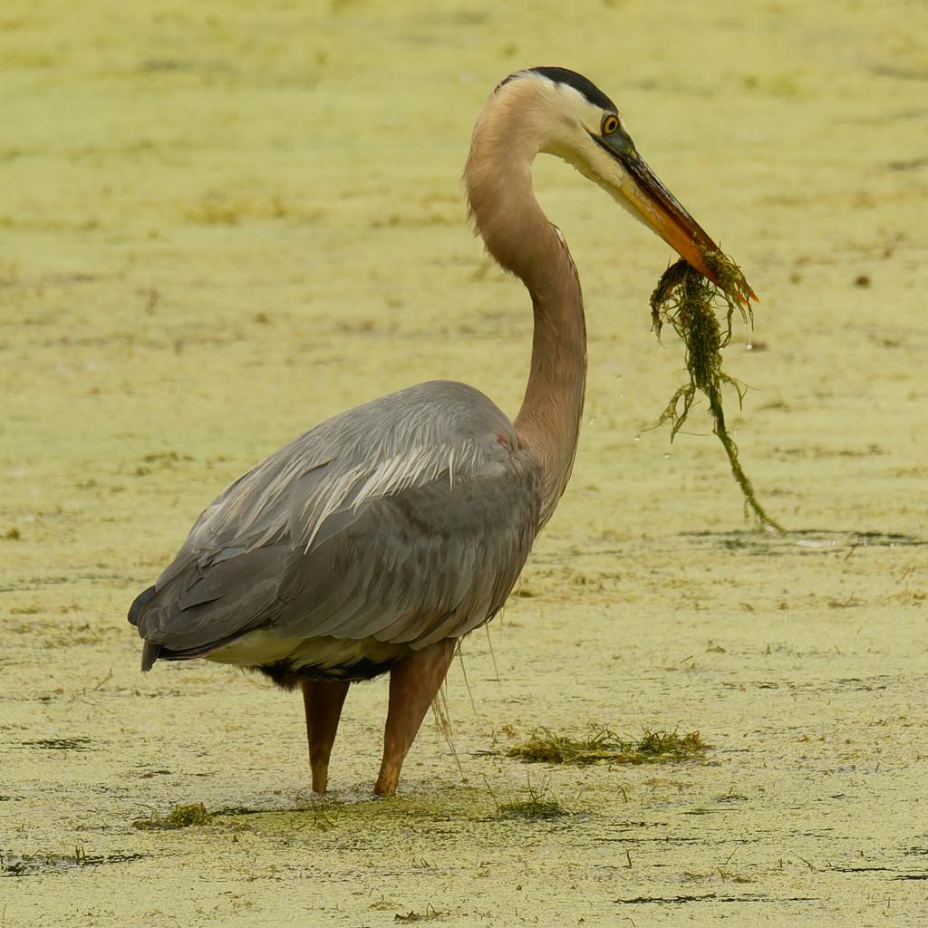 great blue heron  by rminer