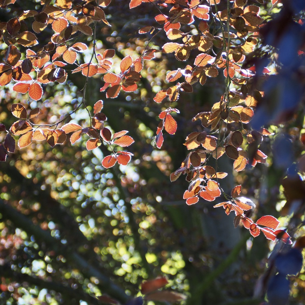 Red Beech in the woods  by jacqbb