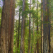 Jim and Pearl in the Redwoods by jgpittenger