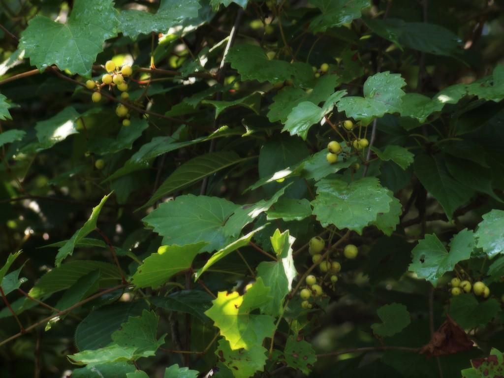 Wild grapes... by marlboromaam