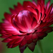 Red Flower by mbrutus