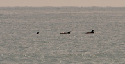 18th Jun 2021 - At First, Thought They Were Sharks!