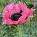 Pink Poppy by 365projectmaxine