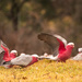 Galahs on the wing by fr1da