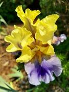 17th Jun 2021 - Late Blooming Iris