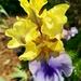 Late Blooming Iris
