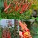 Cape Fuchsia