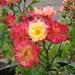 Masquerade Bush Rose