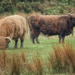 Two Coos