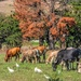 Some Nguni cattle