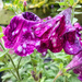 Another Soggy Petunia