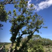 19th Jun 2021 - Windshaped Oak